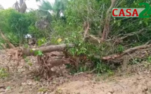 NIAGUIS : CONFLIT FONCIER À KANTÉNÉ, LES CHOSES SE COMPLIQUENT ( Des plantations ont été dégagés, plusieurs arbres terrassés)